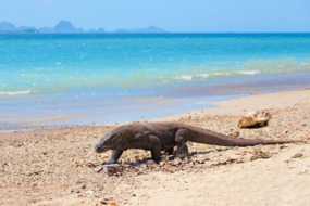Komodo dragon on the beach on Komodo island